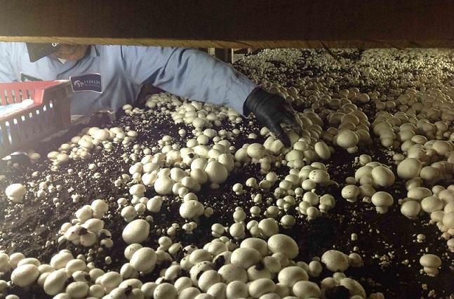 پرورش قارچ در منزل و ایجاد اشتغال